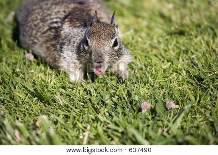 Chatty Squirrel