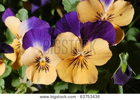 Orange & Purple Pansy