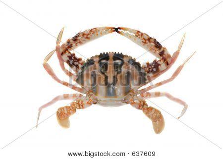 Flower Crab