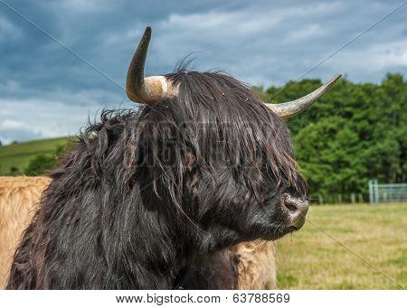 Highland Longhorn Cattle