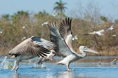 Pink-backed Pelicans (Pelecanus rufescens) during take off in the mangroves poster