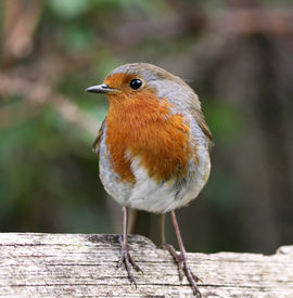 Robin side profile