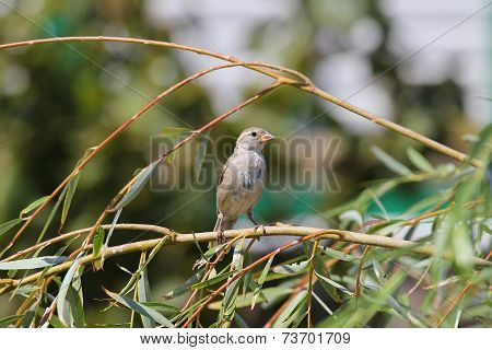 Sparrow Sitting On A Branch