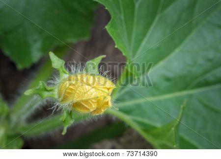 Blooming Winter Melon Flower.