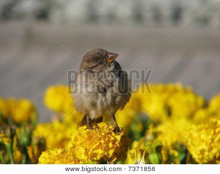 Self-confident sparrow