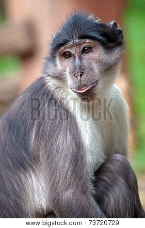 Portrait Of A Sooty Mangabey