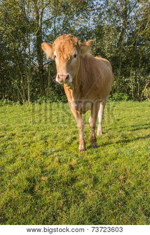 Curiously Looking Young Light Brown Cow