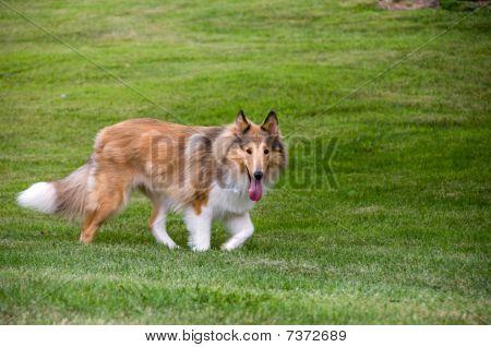 Border Collie Walking in Grass