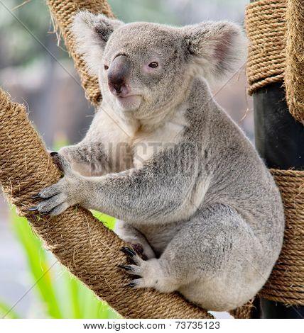 Koala Relaxing at the Zoo