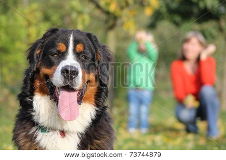 Beautiful Bernese Mountain Dog