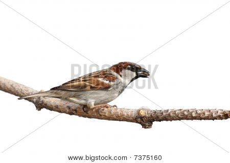 sparrow prepares for flight while holding a sunflower seed in its beak; white background poster
