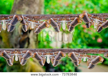 Atlas Moths