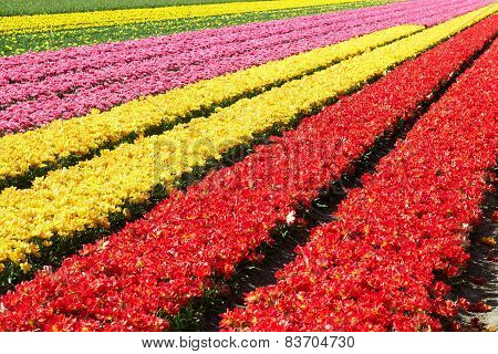 Field full of red and yellow tulips in bloom