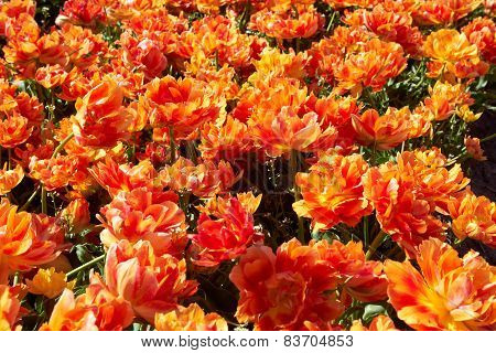 Field full of orange tulips in bloom