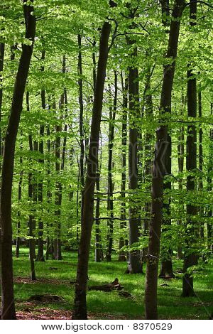 Deciduous Forest in green Backlight