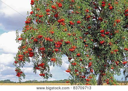 Rowan With Ripe Berries, Sorbus Aucuparia
