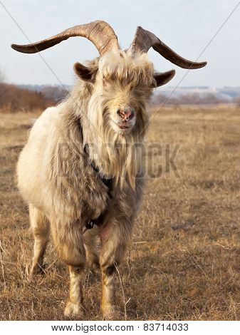 Old Unkempt Goat With Big Horns.