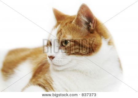 Adult cat isolated on white poster