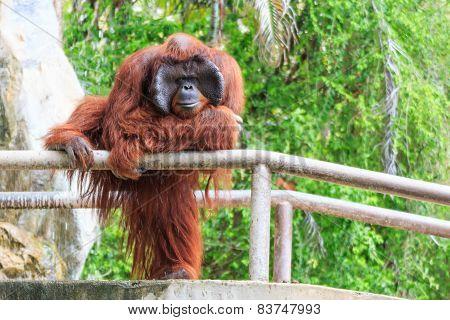 Bornean Orangutan(Pongo Pygmaeus)