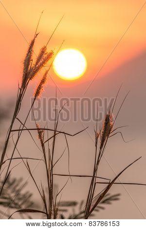 Beautiful Flower (poaceae) With Warm Sunrise