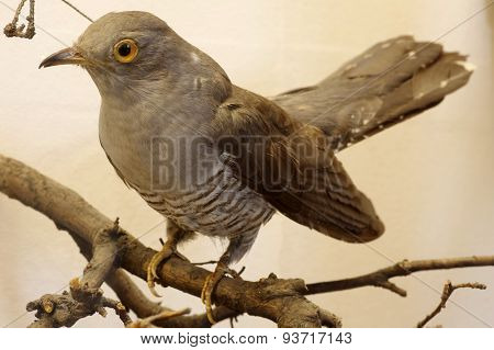 cuckoo taxidermy