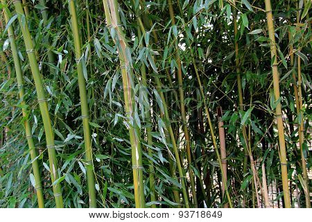Interesting background of healthy Bamboo stalks