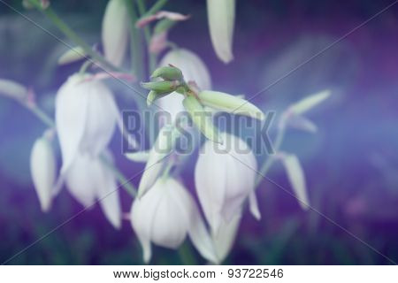 Flowers Of Yucca