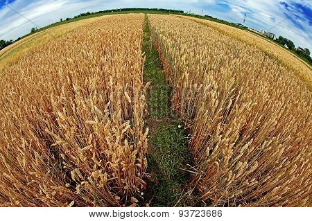 Different Varieties Of Wheat In Fish-eye View 5