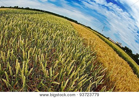 Different Varieties Of Wheat In Fish-eye View 3