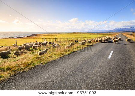A herd of sheep is crossing Highway No. 1 (Ring Road) in Southern Iceland