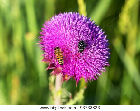 Beautiful Bright Flower Thistle. Bees Pollinate The Flowers, Collect Nectar And Pollen From Flowers.
