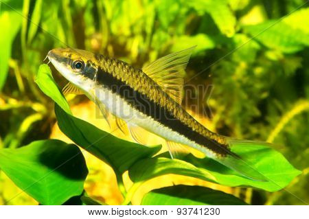 Fish With Black Stripe