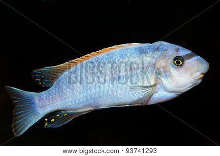 Blue Cichlid Fish