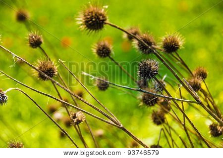 Burr weed, plant