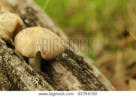 Mushroom on a Log