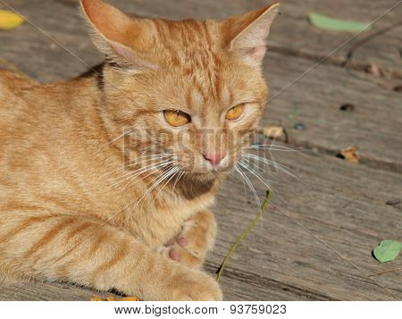 Young Tabby Cat