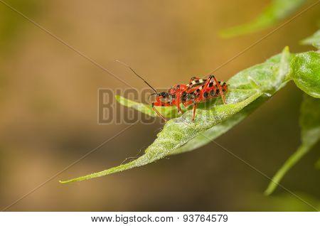 Specimen of Assassin bug sitting on a fresh leaf