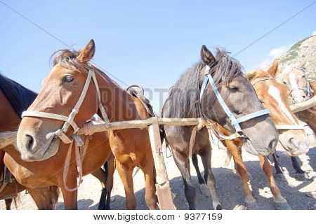 Brown horses on ranch at corral. Wide angle poster