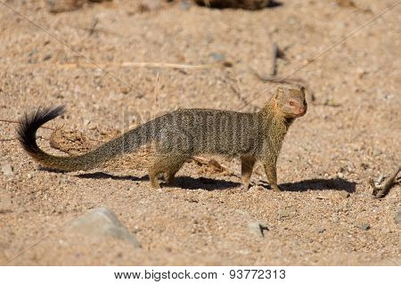 Slender mongoose forage and look for food among rocks poster