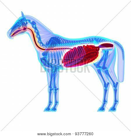 Horse Digestive System - Horse Equus Anatomy - Isolated On White