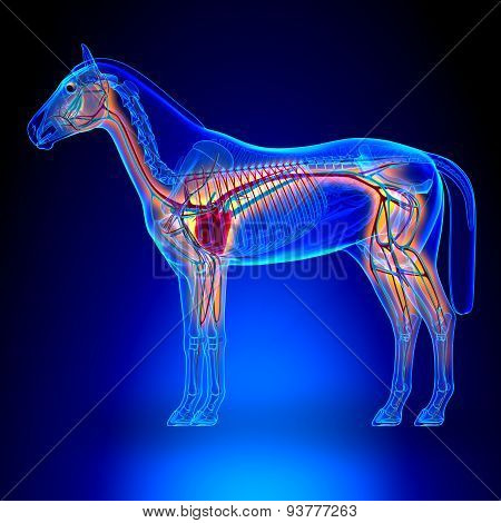 Horse Heart With Circulatory System - Horse Equus Anatomy On Blue Background