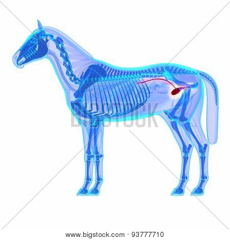 Horse Bladder Urethra - Horse Equus Anatomy - Isolated On White