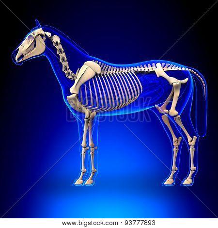 Horse Skeleton - Horse Equus Anatomy - On Blue Background