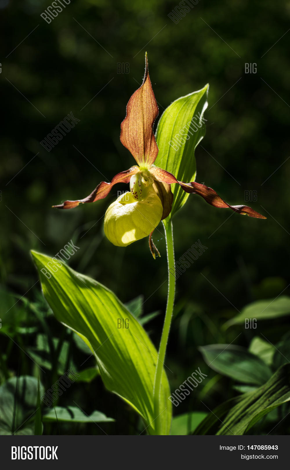 Ladys Slipper Orchid Image Photo Free Trial Bigstock
