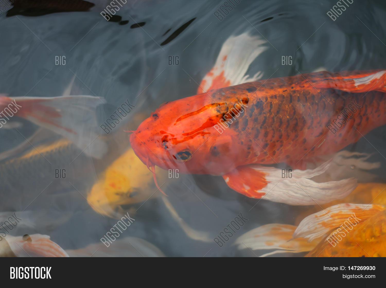 Colorful Fish CARP Image & Photo (Free Trial) | Bigstock