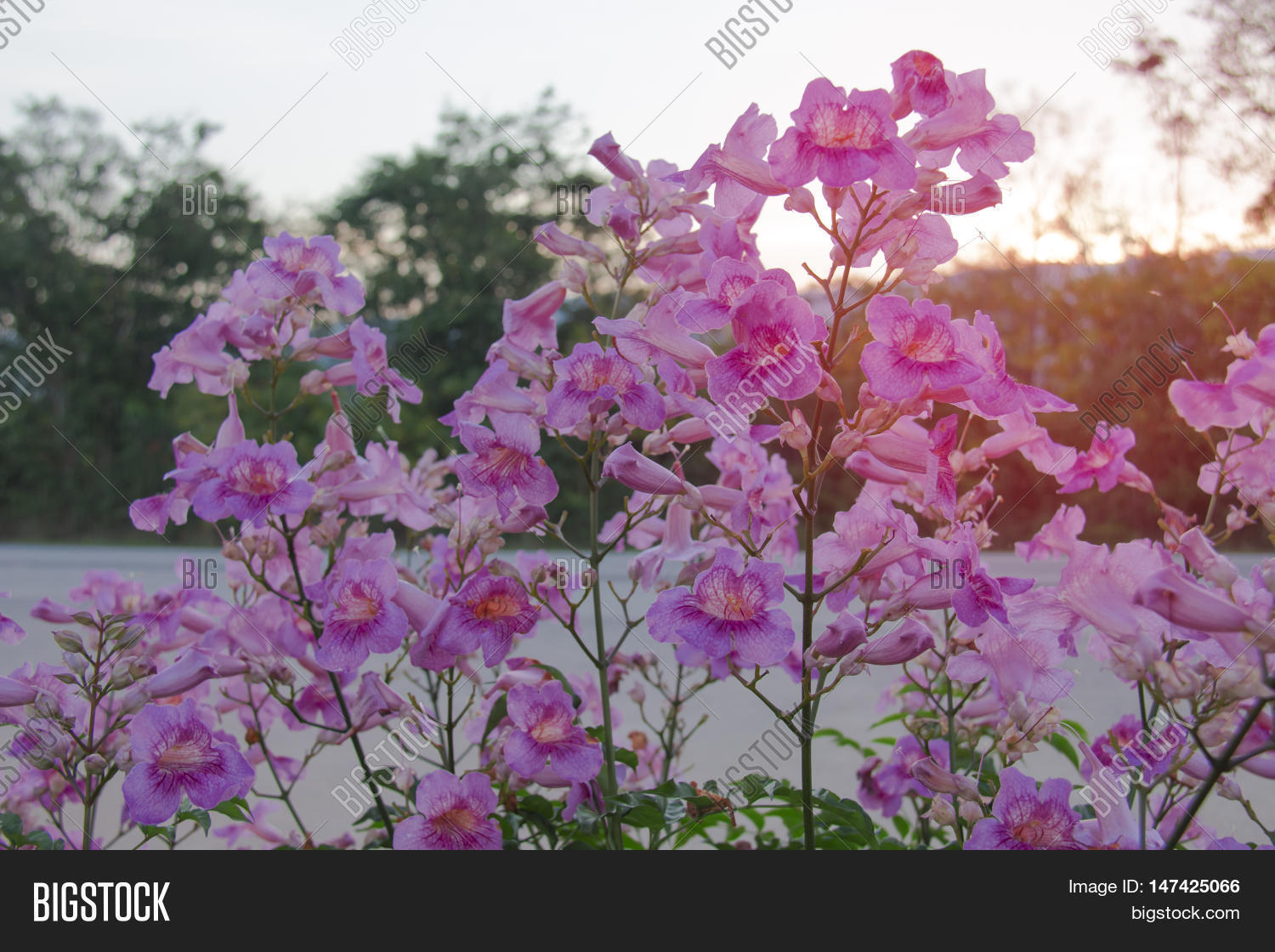 Pink Flower Thailand Image Photo Free Trial Bigstock