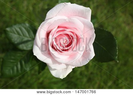 A stunning close up of a light pink rose