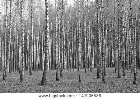 birch forest, black-white photo, autumn landscape, beautiful forest