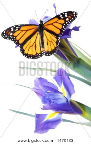 Monarch butterfly on blue flowers with blue isris poster