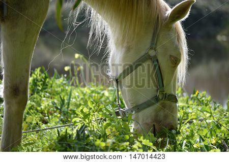 Cavalo no momento de satisfazer as suas necessidades de alimento.